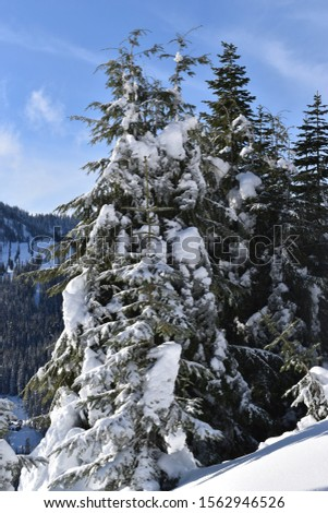 Remote evergreen trees in the winter months in the North Cascade mountains of Washington State #1562946526