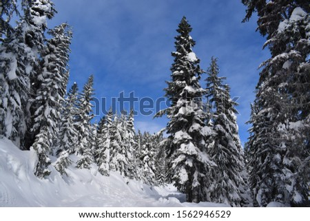 Remote evergreen trees in the winter months in the North Cascade mountains of Washington State #1562946529