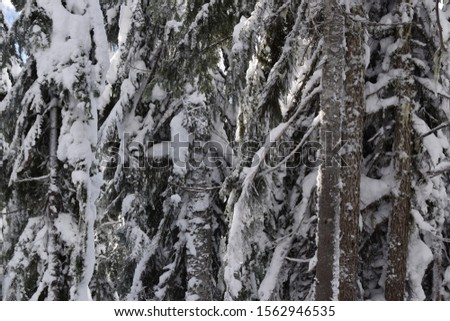 Remote evergreen trees in the winter months in the North Cascade mountains of Washington State #1562946535