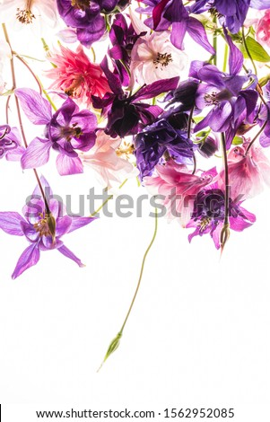 aquilegia flowers on the white background #1562952085