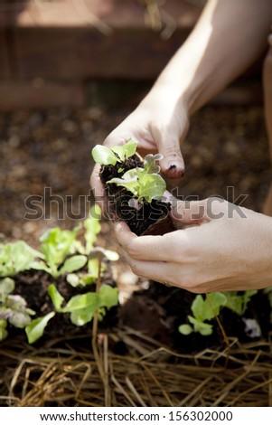 Baby lettuce prepared for planing in garden #156302000