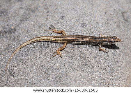 Copper-tailed Skink showing tail regeneration #1563061585