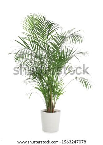 Pot with Ravenea rivularis plant isolated on white. Home decor #1563247078