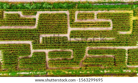 Aerial view on corn maze. Corn field in Boynton Beach, Florida. Drone landscape photo. #1563299695