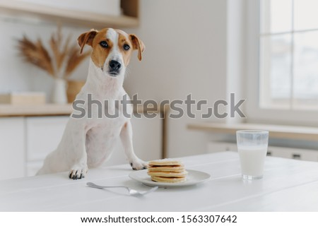 Jack russell terrier keeps both paws on table with pancakes, glass of milk, poses against kitchen background. Delicious food. Pedigree dog in modern apartment Royalty-Free Stock Photo #1563307642
