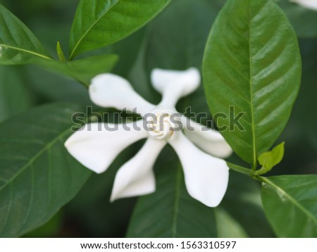 Blooming white Gardenia is known for the strong sweet scent of their flowers #1563310597