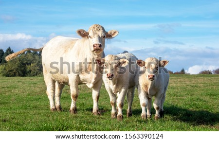 White cow with calves in the field, cute Charolais next to two bull calves on a sunny day. #1563390124