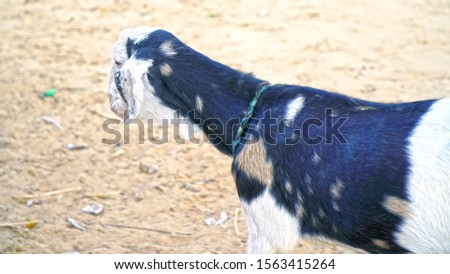 Portrait of a goat on a farm in the village. Beautiful goat posing. Goat with short horns. Goat in the field