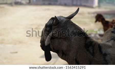 Portrait of a goat on a farm in the village. Beautiful goat posing. Goat with short horns. Goat in the field #1563415291
