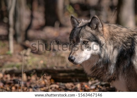 Close up of a gray wolf (timber wolf) standing in a clearing surrounded by trees and Fall foliage.   #1563467146
