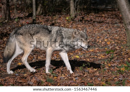 Gray wolf (timber wolf) standing in a clearing surrounded by Fall foliage.   #1563467446