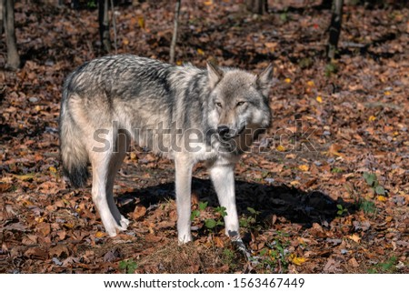 Gray wolf (timber wolf) standing in a clearing surrounded by Fall foliage.   #1563467449