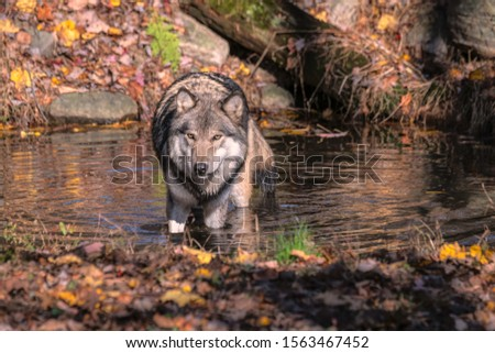 Gray wolf (timber wolf) standing in a pond surrounded by Fall foliage. #1563467452