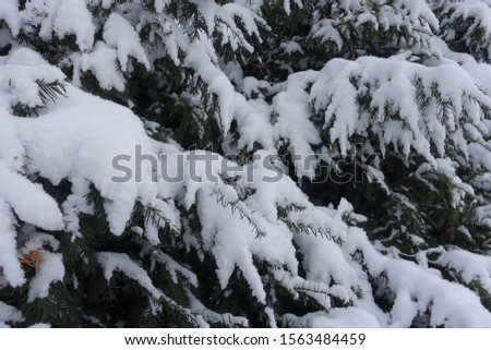Snow on branches of yew in January #1563484459