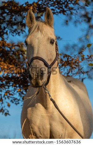 beautiful palomino horse portrait with blue sky in background #1563607636