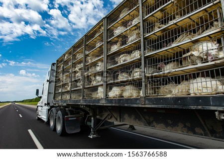 low angle and rear view of a transportation turkey truck on the roads, lot of white turkeys in cages, The process of transporting poultry from the farm to the slaughterhouse. #1563766588