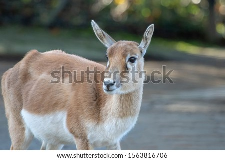an antelope in a zoo #1563816706
