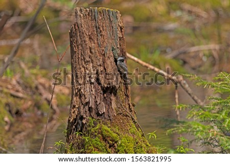 Black Capped Chickadee outside its nest in a Stump in Copper Falls State Park in Wisconsin #1563821995