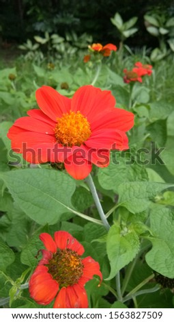 Red Mexican sunflower is a colorful flower in a lush garden. #1563827509