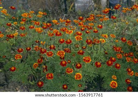 Red marigold flowers in fall seasonal. #1563917761
