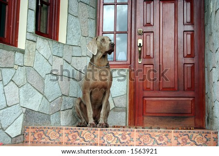 Weimaraner dog sitting on the front door guarding the house #1563921