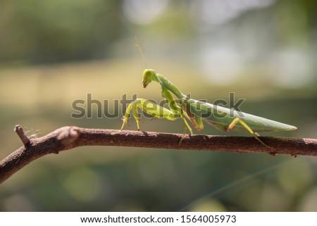 green praying mantis on dead branches / Mantis religiosa #1564005973