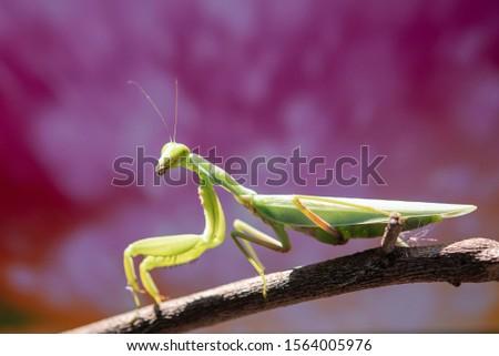 green praying mantis on dead branches / Mantis religiosa #1564005976