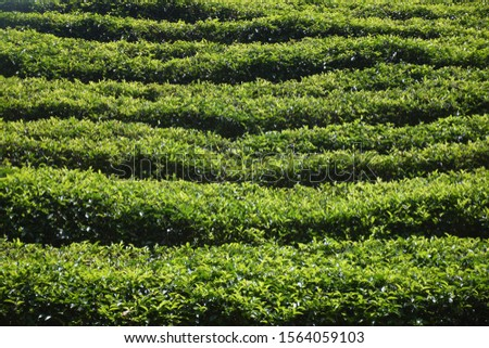 The tea plantations background , Tea plantations in morning #1564059103