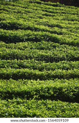 The tea plantations background , Tea plantations in morning #1564059109