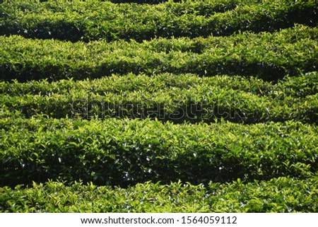 The tea plantations background , Tea plantations in morning #1564059112