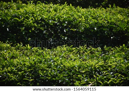 The tea plantations background , Tea plantations in morning #1564059115