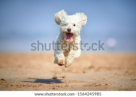 Miniature poodle - Dog running, playing and jumping on the beach