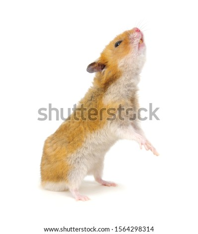 Hamster standing on its hind legs isolated on white background #1564298314