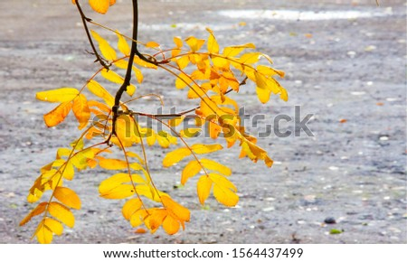 Autumn landscape photography, mountain ash in full beauty, illuminated by the colors of autumn. A tree with fruits in the form of a bunch of orange-red berries, as well as the most berries #1564437499