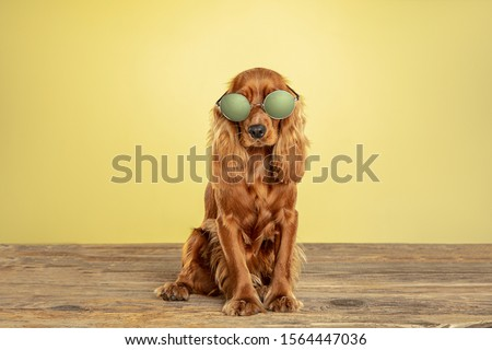 Best teacher. English cocker spaniel young dog is posing. Cute playful brown doggy or pet sitting in eyewear isolated on yellow background. Concept of motion, action, movement, pets love. Looks cool. #1564447036