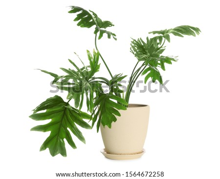 Pot with Philodendron selloum plant isolated on white. Home decor #1564672258