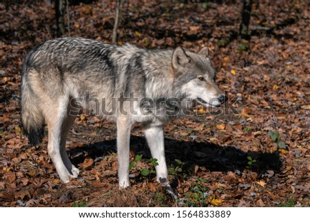 Gray wolf (timber wolf) standing in a clearing surrounded by Fall foliage. #1564833889