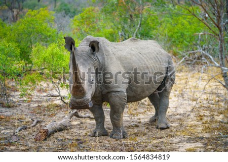 wild white rhino in kruger national park in mpumalanga in south africa #1564834819