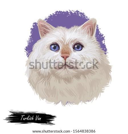 Turkish Van cat landrace of domestic cat isolated animal. Digital art illustration pussy kitten portrait, fluffy domestic pet t-shirt print hand drawn tabby, swimming cat white kitten with blue eyes
