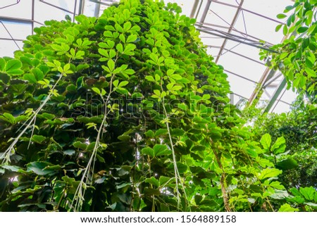 Giant grape vines hanging in a greenhouse, tropical cultivated plant specie, Horticulture and nature background #1564889158