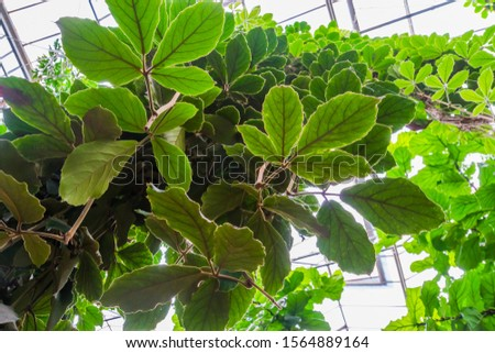 closeup of the leaves a giant grape vine plant, tropical cultivated plant specie, Horticulture and nature background #1564889164