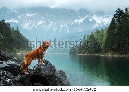 Traveling with a dog. Nova Scotia Duck Tolling Retriever stands on a rock on a lake in the background of mountains. Healthy lifestyle #1564902472