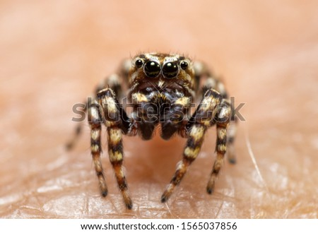 Closeup of a male Pelegrina galathea, Peppered Jumper, with his boldly marked face #1565037856