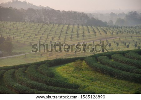 The tea plantations background , Tea plantations in morning light #1565126890