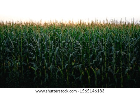 Corn field and corn maze with sunset #1565146183