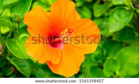 Orange hibiscus flowers. Hibiscus flowers.                         #1565198407