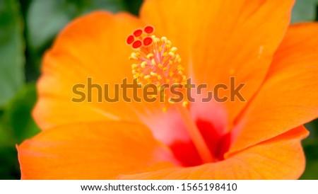Orange hibiscus flowers. Hibiscus flowers.                         #1565198410
