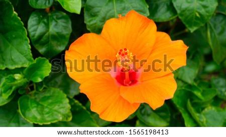 Orange hibiscus flowers. Hibiscus flowers.                         #1565198413