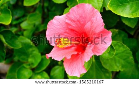 Pink hibiscus flowers.    Hibiscus flowers.                          #1565210167