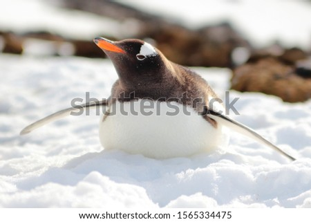 Gentoo Penguin on the Snow on Glacier Sunny Day Snowy Ground with Rocks in Background at Port Lockroy South Pole Antarctic Peninsula